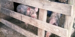 Pigs on dairy farm near Dunsandel. Minolta 7s Rangefinder Camera.