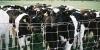 Ricoh-500G-Calves