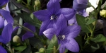 ricoh-xr-1s-purple-flowers