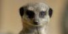 1-wellinton-zoo-meerkat